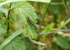 Nettle with caterpillar