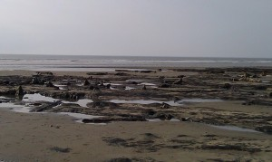 Petrified ancient forest remains at Borth, Wales