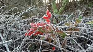 Red leaves in frosty bramble patch